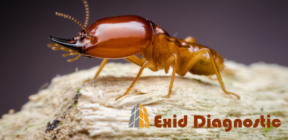 Diagnostic termites La Réunion - Exid Diagnostic